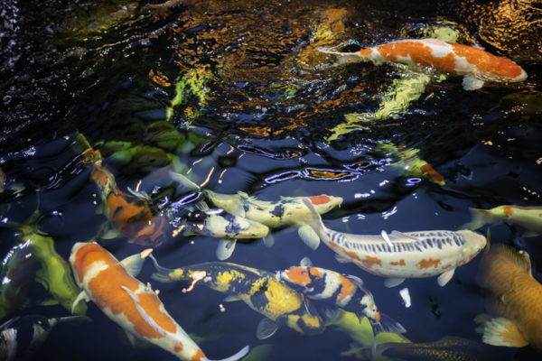 Here's Why You Should Add Koi and Goldfish to Your Pond