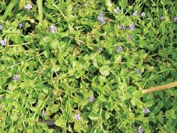 PicLindemiaGrandiflora