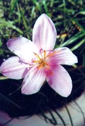 PicZepyranthesGrandiflora